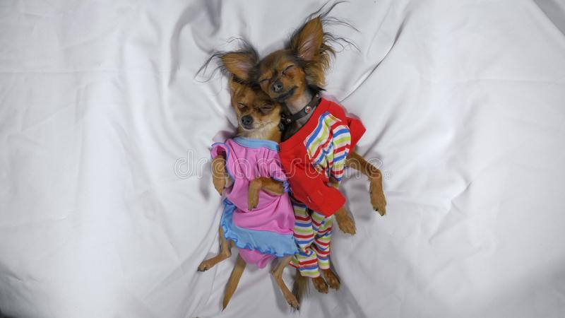 Newborn puppys sleeping. Adult small dogs Toy Terriers in pajamas. stock photography