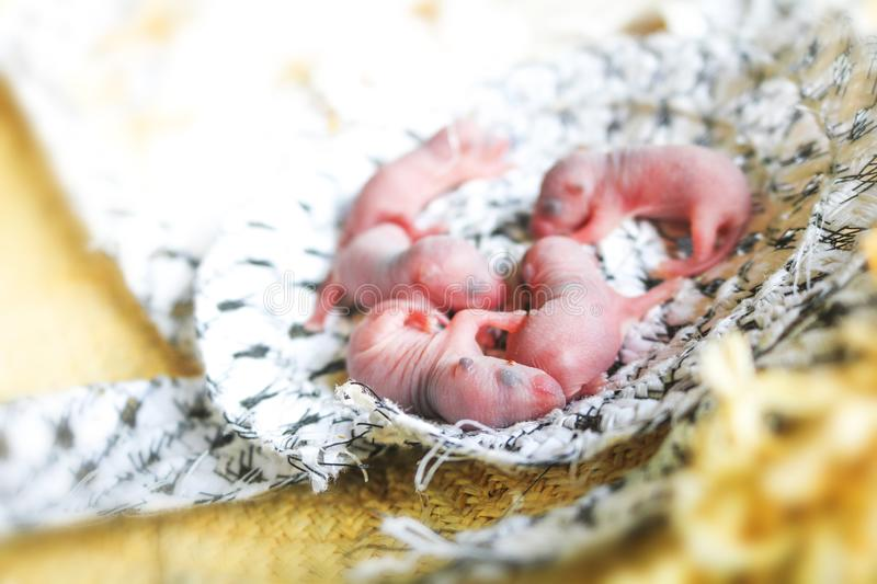 Newborn rats sleep in rat nest on fabric or silk cloth in the house. Baby mouse or little newborn rats sleep in rat nest on fabric or silk cloth in the house stock image
