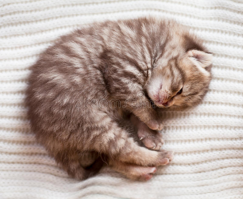 Newborn sleeping british baby kitten stock photos