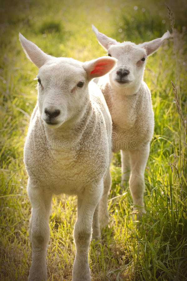 Newborn Spring Lamb sheep royalty free stock images