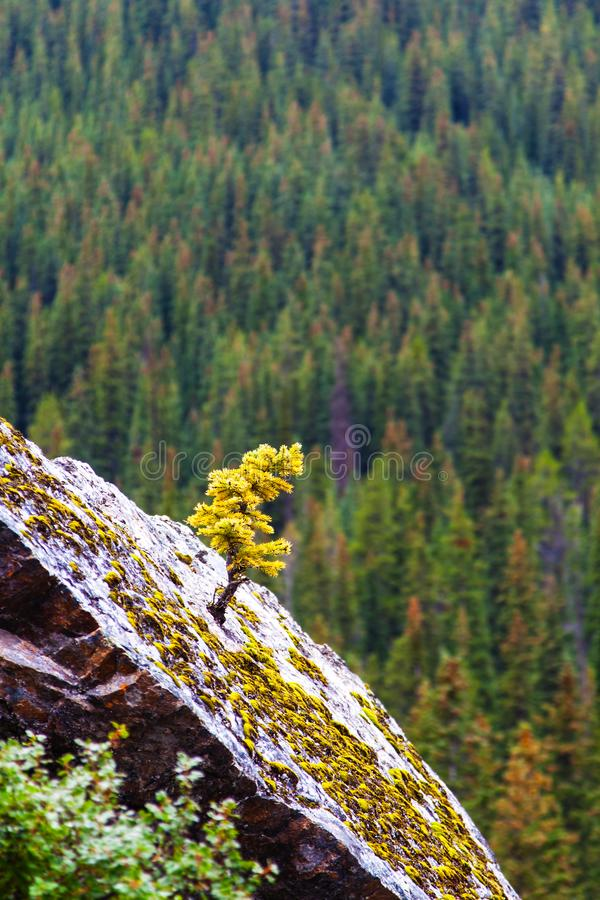 Newborn Spruce Tree Growing in Tough Places stock photo