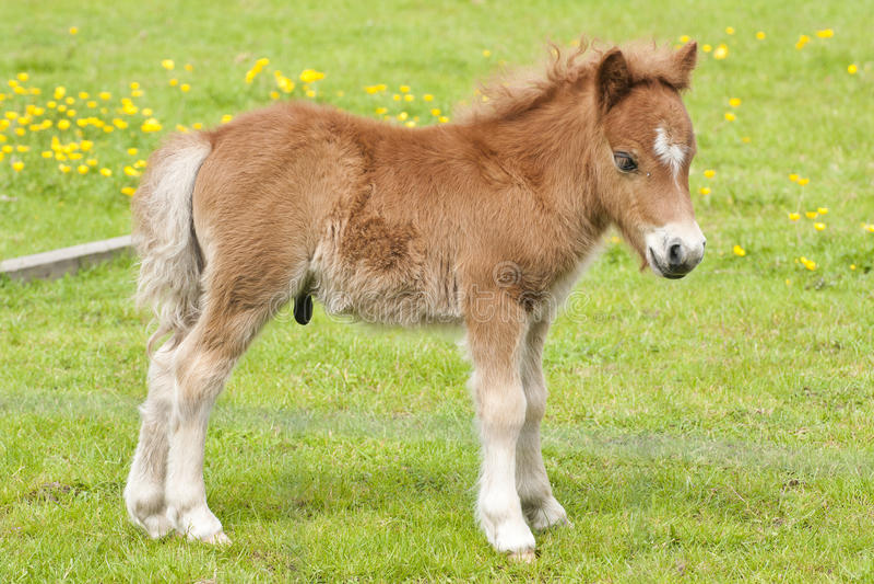 Newborn stallion foal royalty free stock photos