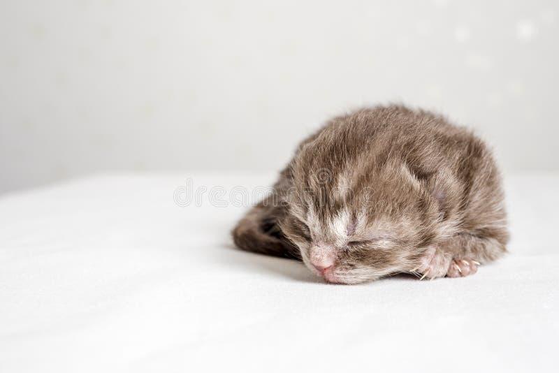 Newborn striped kitten Scottish Fold sleeps. On a white table royalty free stock photography
