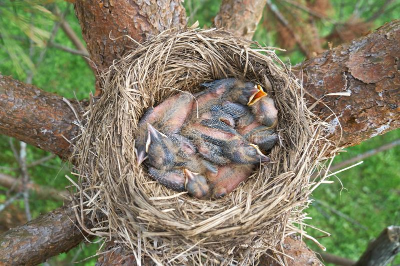 Newborn thrush`s chicks are opening sleeping in the nest located on the pine tree. View from above stock photography