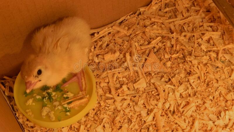 Newborn chick of turkey at the feeding trough royalty free stock photography