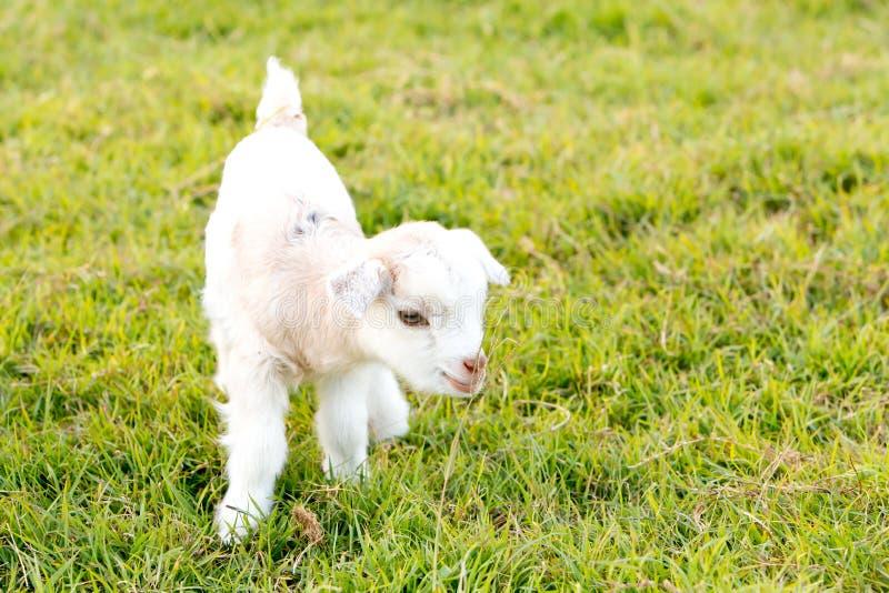 Newborn white baby kid goat pygmy goat in grass field stock photography