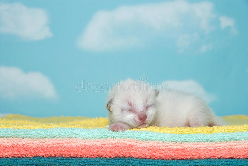 Newborn white kitten on fluffy towels. Newborn white kitten, eyes closed, laying on yellow, aqua, peach, orange and green towels with blue sky cloud background royalty free stock images
