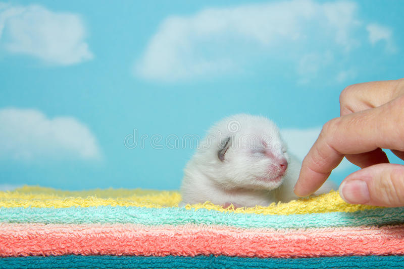 Newborn white kitten on fluffy towels. Newborn white kitten, eyes closed, laying on yellow, aqua, peach, orange and green towels with blue sky cloud background stock images