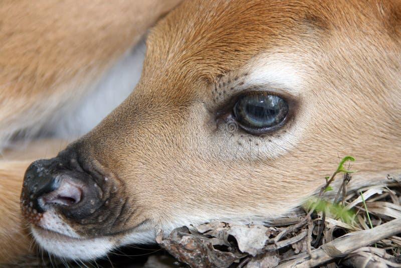 Newborn whitetail deer fawn royalty free stock photo
