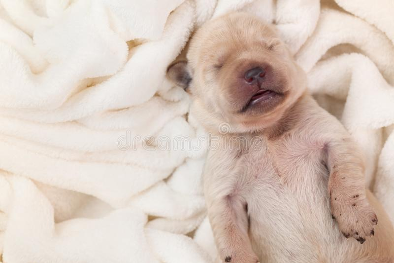 Newborn young labrador puppy dog sleeping on fluffy blanket stock image