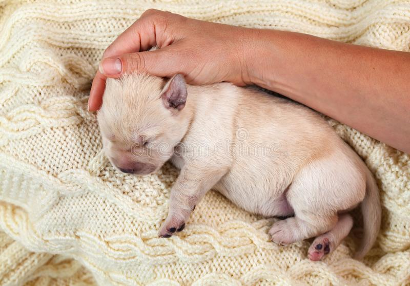 Newborn young yellow labrador puppy dog resting on woolen sweater - woman hand comforting. Newborn yellow labrador puppy dog resting on woolen sweater - woman royalty free stock photo