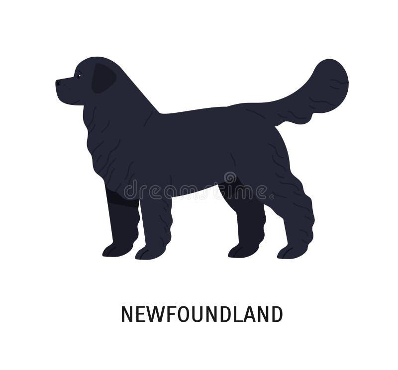 newfoundland Śliczny wielki działania lub ratuneku pies odizolowywający na białym tle długowłosy traken Oszałamiająco purebred ilustracja wektor