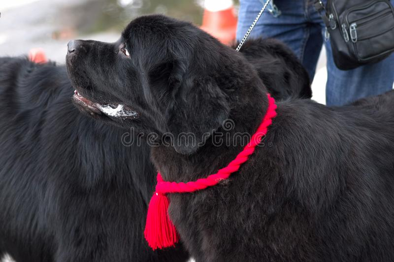 Newfoundland big dog. Newfoundland is a popular breed of big dogs close-up. Concept: friend, dobrata, power, love, loyalty, protection, care. Space under the stock photo