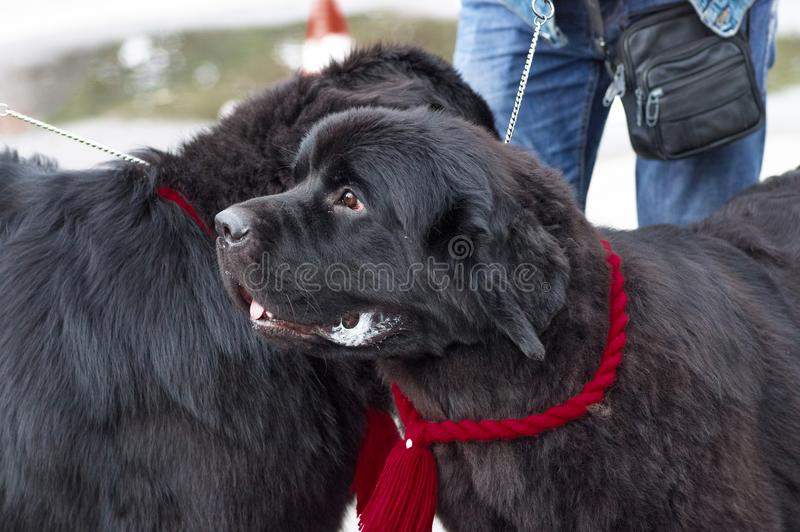 Newfoundland big dog. Newfoundland is a popular breed of big dogs close-up. Concept: friend, dobrata, power, love, loyalty, protection, care. Space under the stock photos