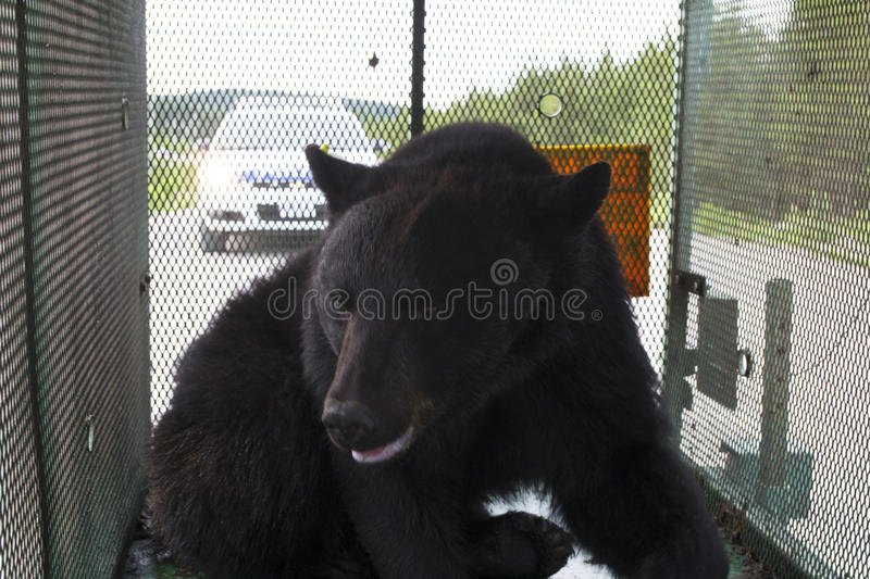 Newfoundland Black Bear. Captured near a populated area by wildlife officers to be released later in a wilderness area stock photo