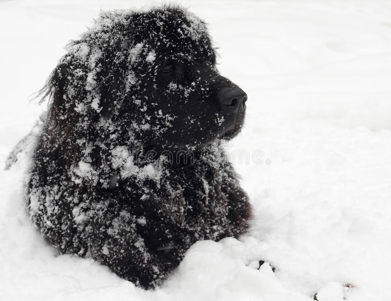 Download Newfoundland dog stock image. Image of snow, cute, purebred - 24842761