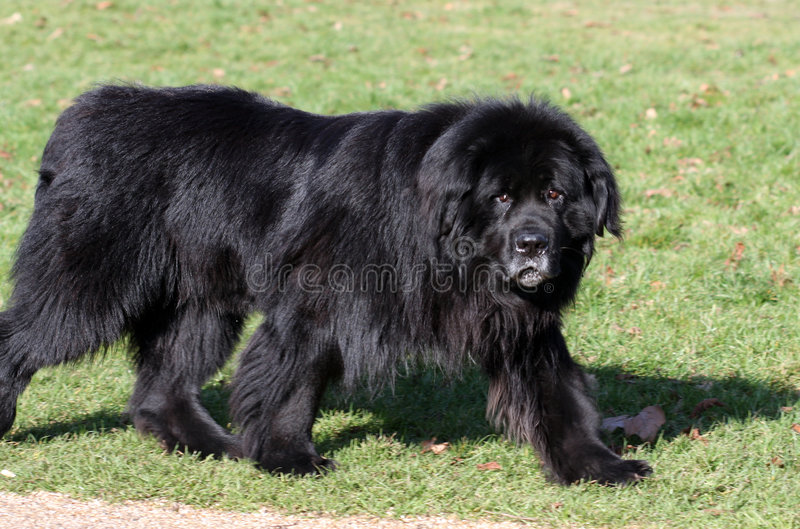Download Newfoundland dog stock photo. Image of black, breed, outdoors - 8257020