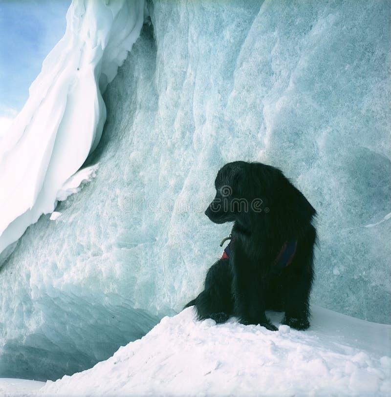 Download Newfoundland dog stock image. Image of snow, black, mountains - 882349