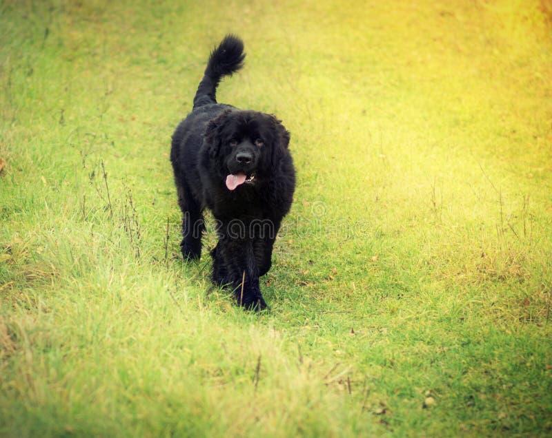 Download Newfoundland dog stock image. Image of black, walking - 35399397