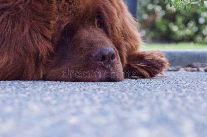 Newfoundland Dog Brown stock image