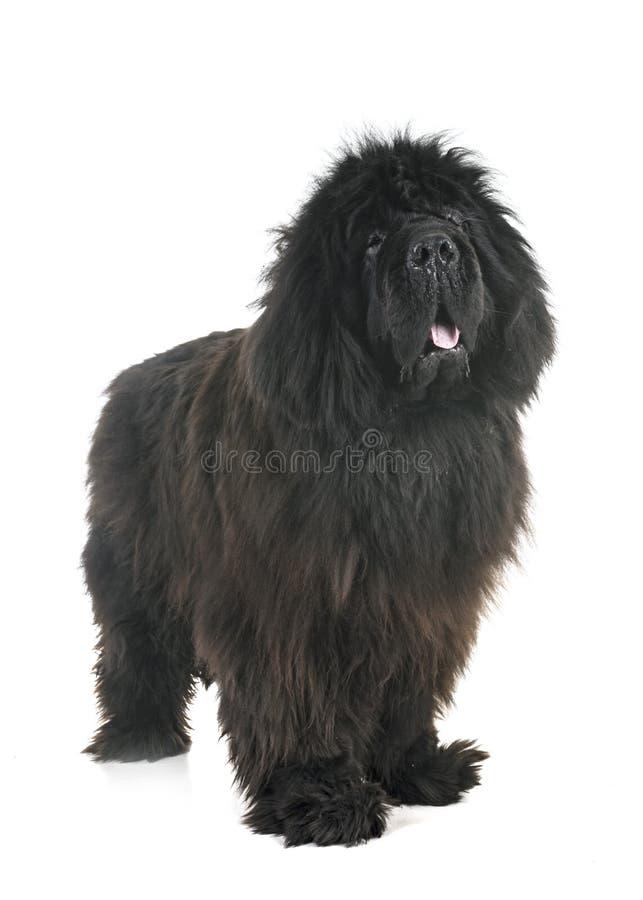 Newfoundland dog in studio royalty free stock photography