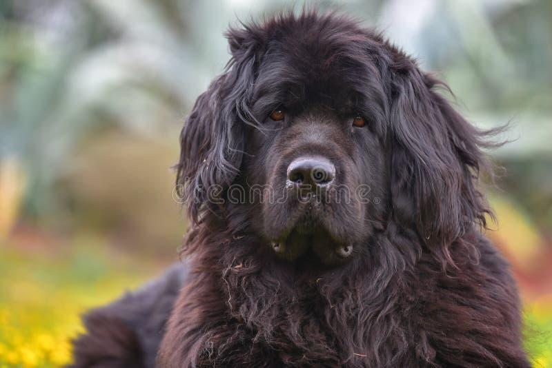 Newfoundland dog stock images