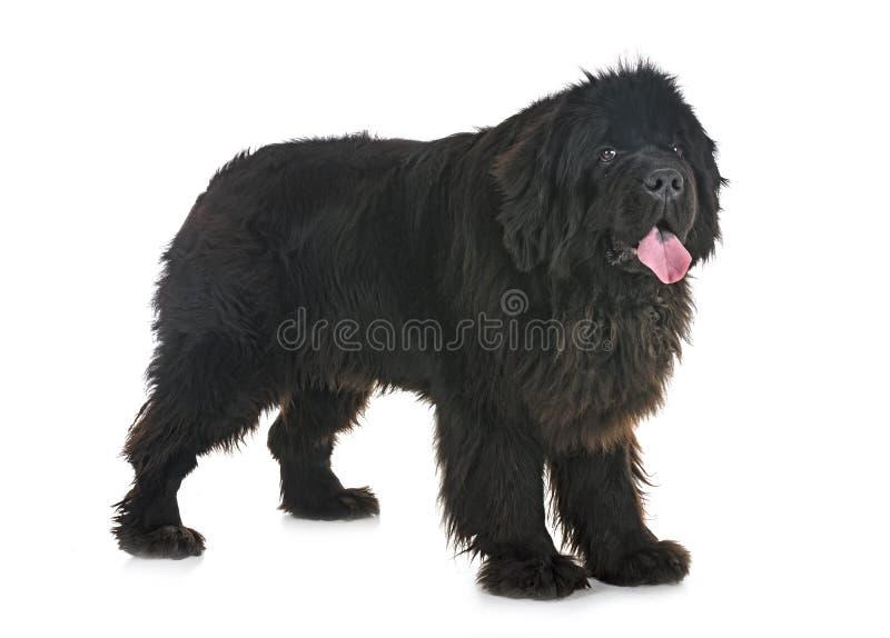 Newfoundland dog in studio stock image