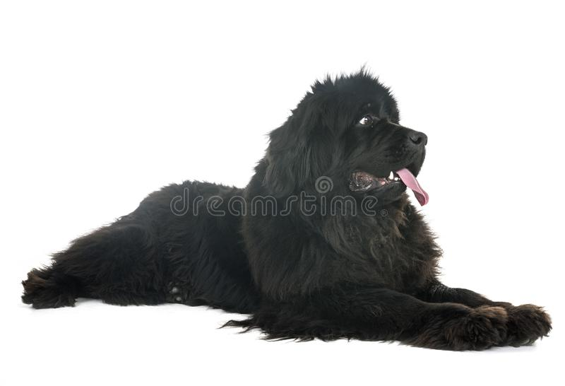 Newfoundland dog in studio stock photography