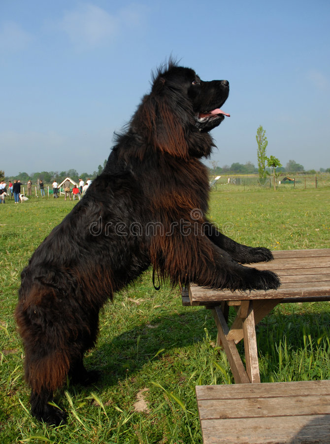 Newfoundland dog upright royalty free stock photo
