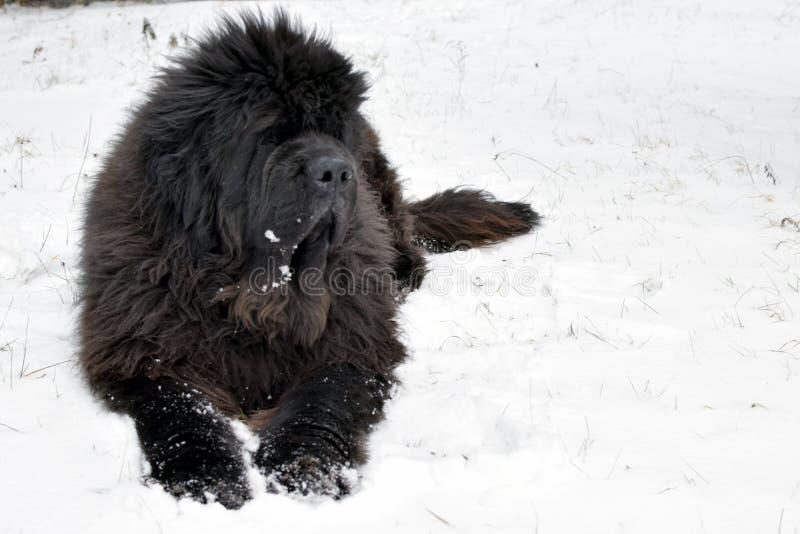 Newfoundland dog royalty free stock photography