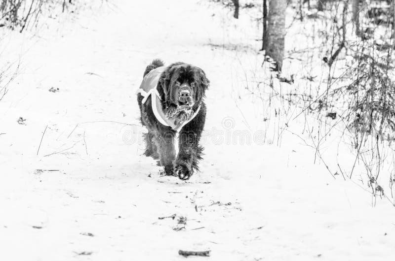 Newfoundland hund med kläder royaltyfria bilder