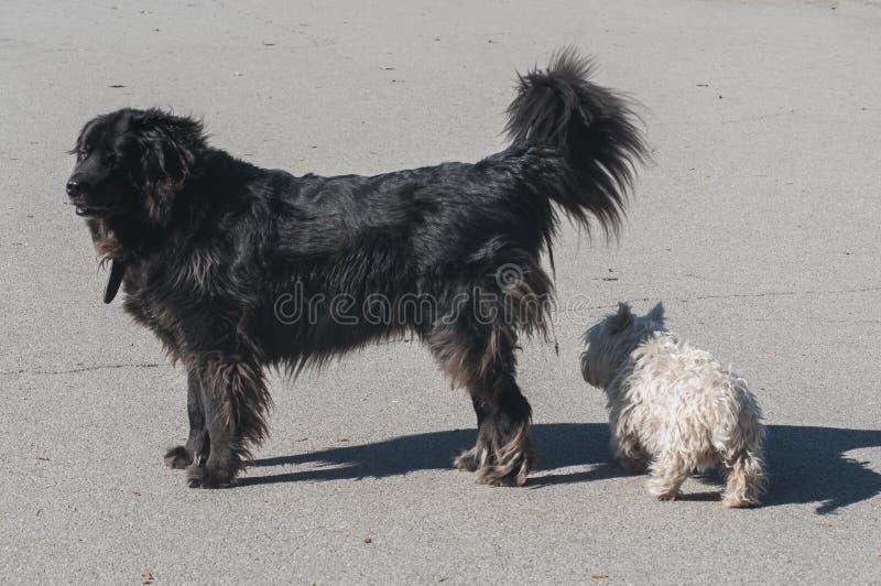 Newfoundland hund och att kväva terriern arkivbilder