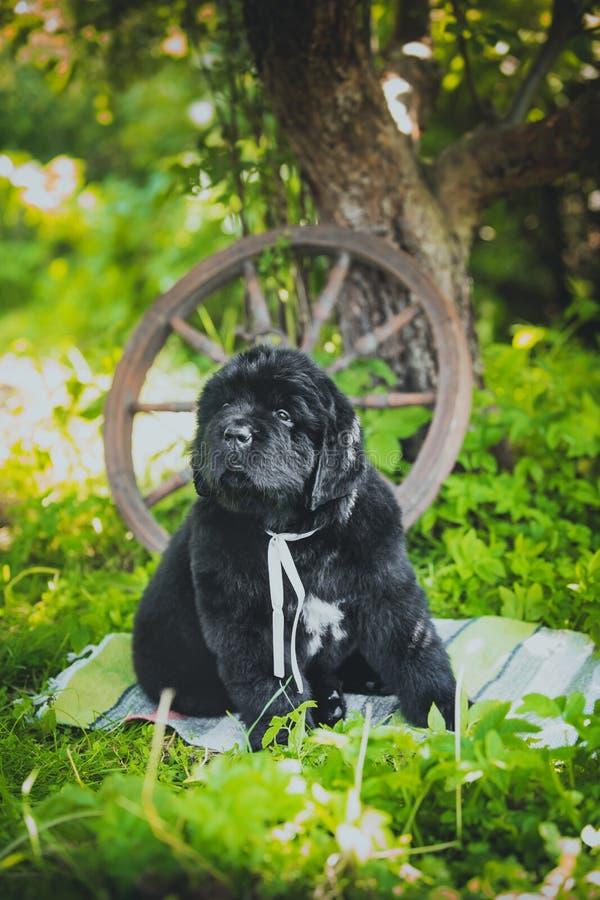 Newfoundland puppy, black, woolen stock photo