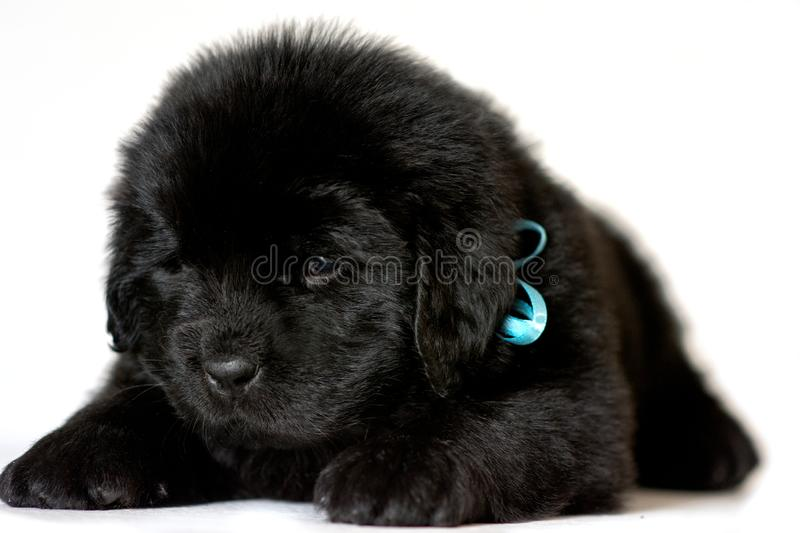 The Newfoundland puppy dog lies and looks down on a white background stock photography