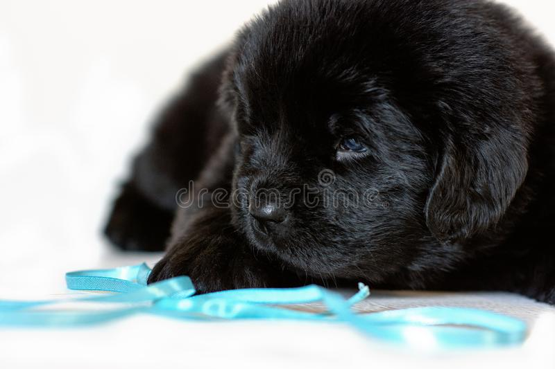 The Newfoundland puppy dog lies sad, on a white background royalty free stock image