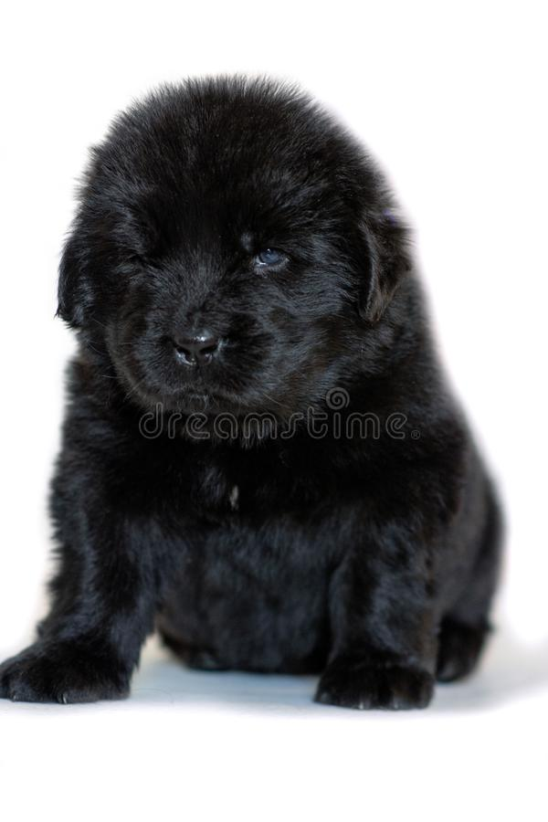 The Newfoundland puppy dog sits and looks forward, on a white background stock photo