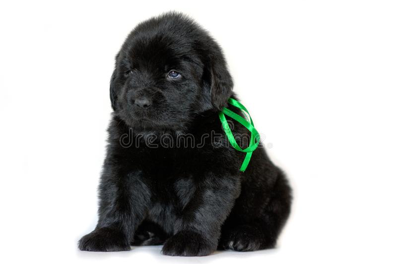 Newfoundland puppy dog sitting and looking sideways, on a white background. Green ribbon tied royalty free stock photography