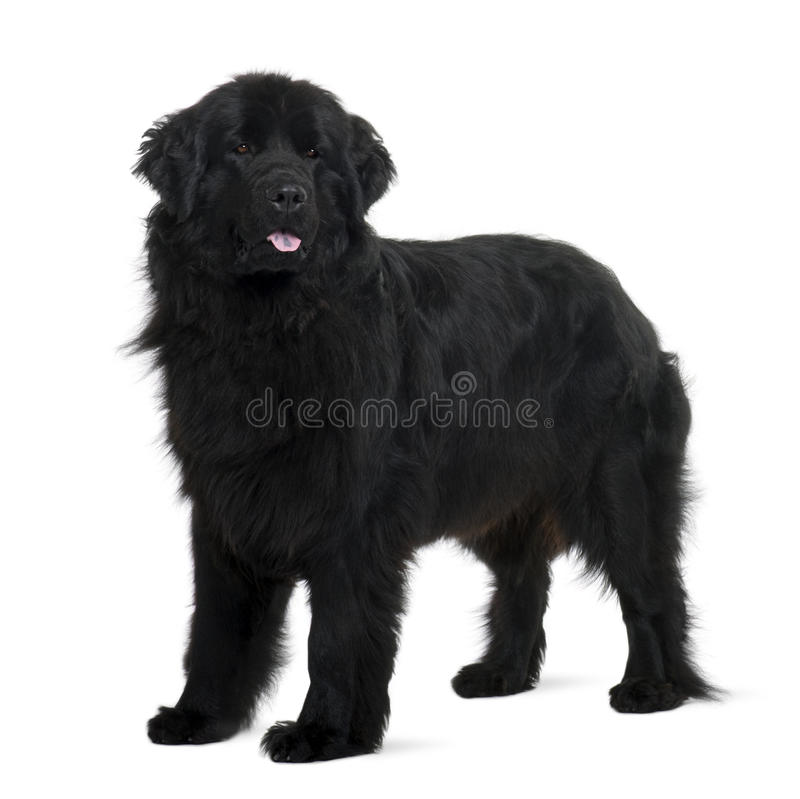 Newfoundland puppy, standing and panting stock photos
