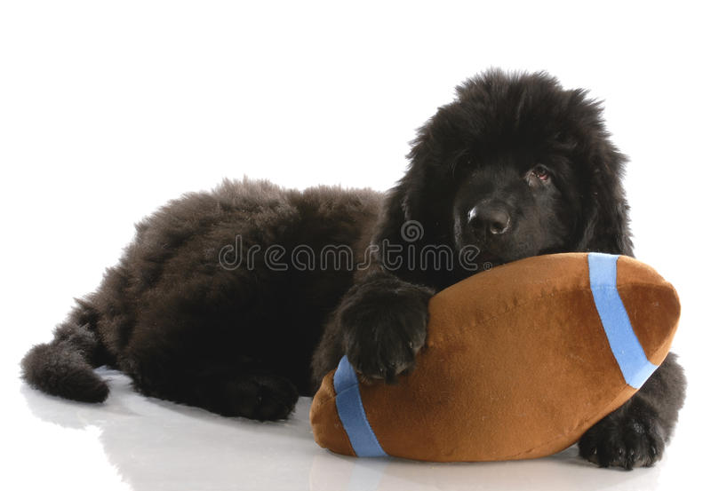 Newfoundland puppy with stuffed toy royalty free stock photos