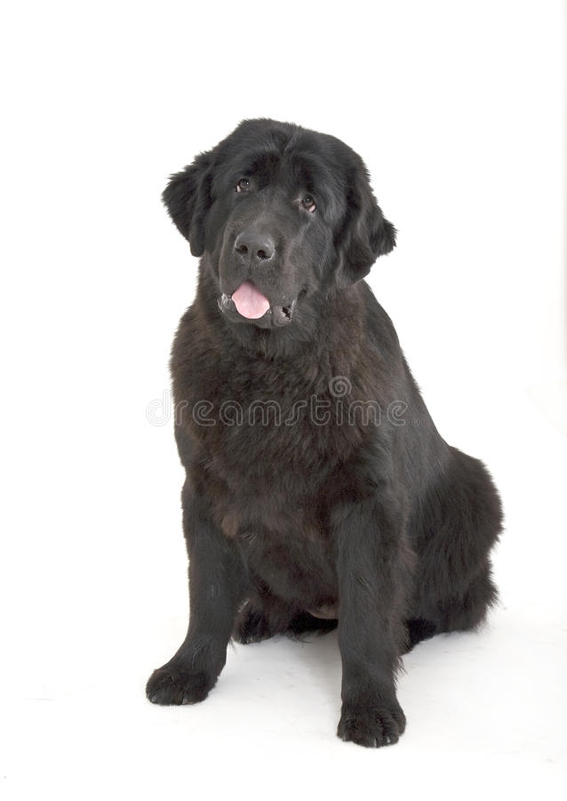 Download Newfoundlander stock photo. Image of animals, white, canine - 26493086