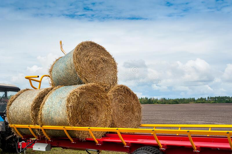 Newly baled round hay bales are loaded onto a truck trailer for transporting. From the farm field stock photos