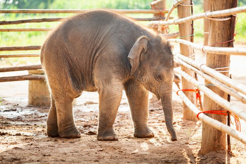 Newly born baby asia elephant Mischievous in Surin Thailand royalty free stock photo