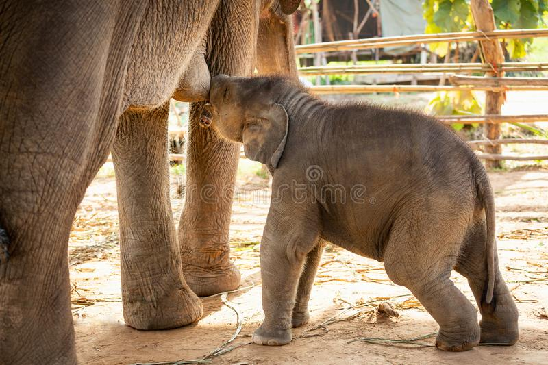 Newly born baby asian elephant  drink milk mother Mischievous in Surin Thailand royalty free stock image