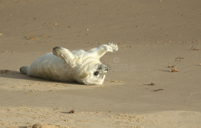 A newly born Grey Seal Halichoerus grypus pup lying on the beach , waiting for its mum to return from the sea . royalty free stock image