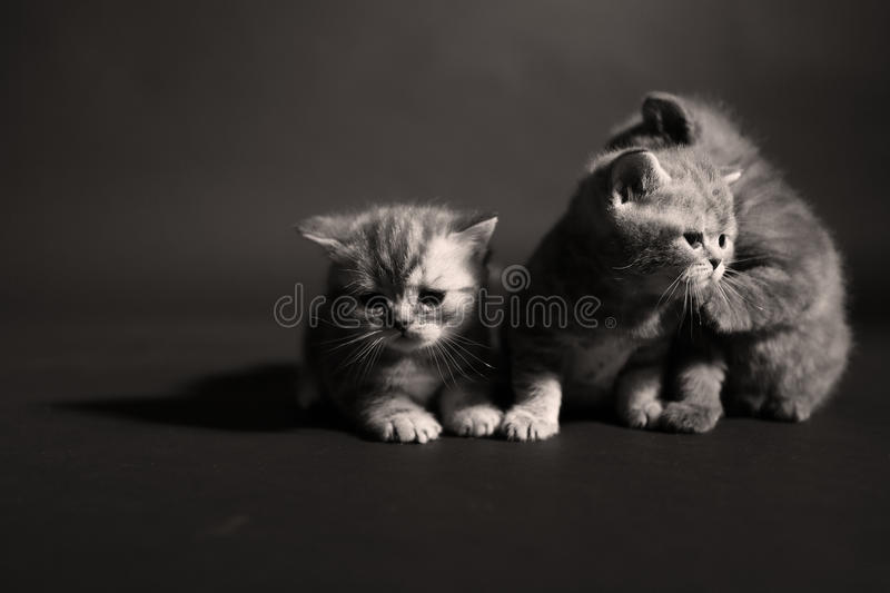 Newly born kittens. British Shorthair kittens in a photo studio royalty free stock image