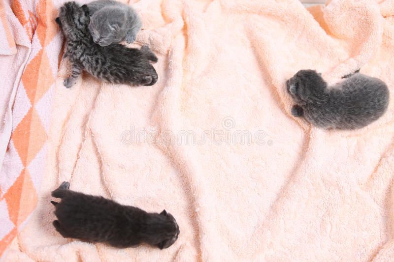 Newly born kittens. Four newly born British Shorthair kittens on a soft towel, first day of life, one day old stock photos