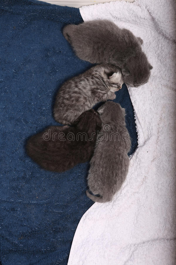 Newly born kittens. Four newly born British Shorthair kittens on a soft towel, first day of life, one day old stock images