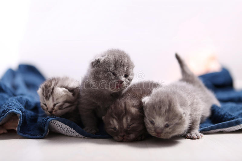 Newly born kittens. Four newly born British Shorthair kittens on a soft towel, first day of life, one day old royalty free stock photo