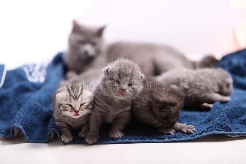 Newly born kittens. Four newly born British Shorthair kittens on a soft towel, first day of life, one day old royalty free stock image