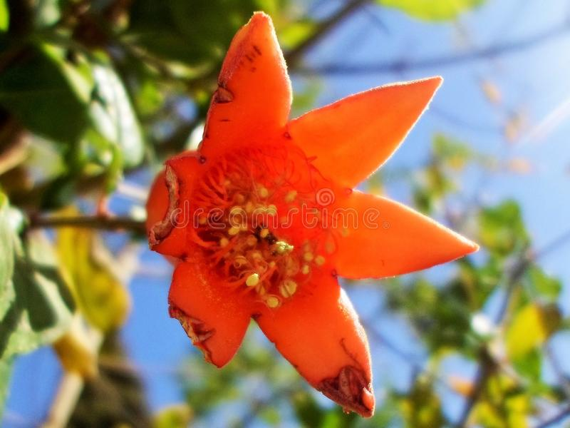 Newly born Pomegranate flower is eaten by insects from one side stock photos